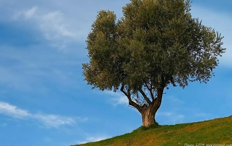 si dice olivo o ulivo